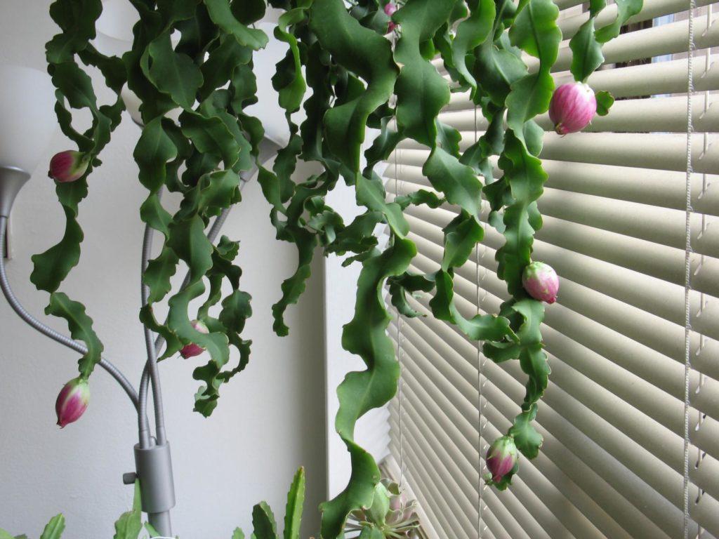 Эпифиллум с волнистыми стеблями