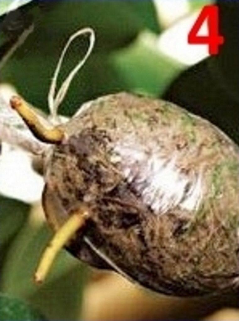 Размножение стефанотиса