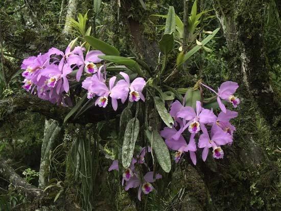 Орхидея Каттлея в природе
