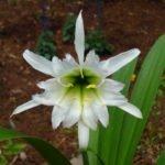Гименокаллис Festalis White