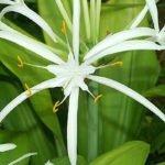 Гименокаллис прекрасный
