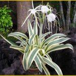Гименокаллис прибрежный variegata