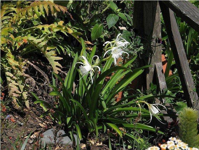 Гименокаллис в природе