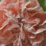 Гранат Double Flower