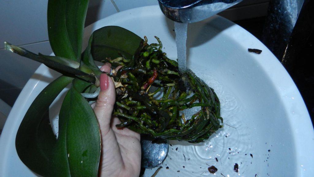 Корни орхидеи промываются водой