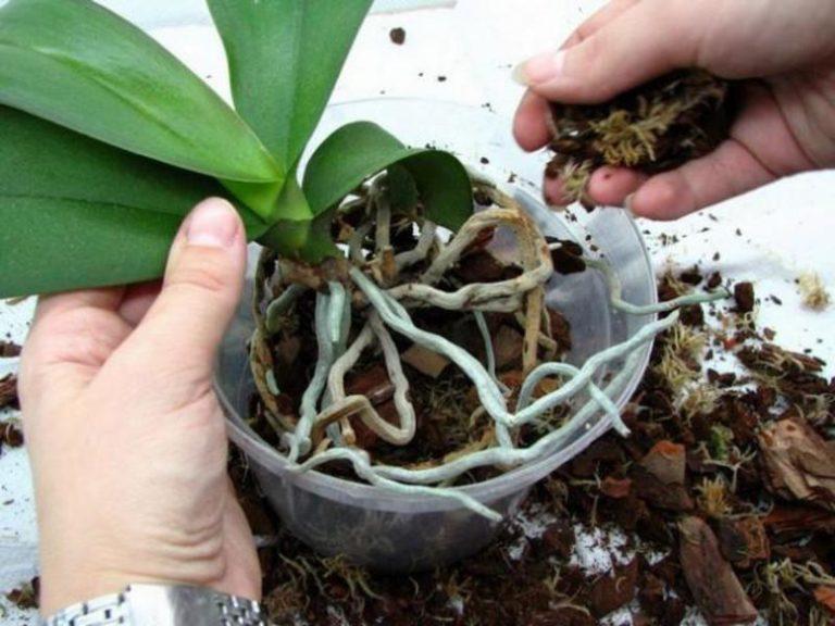 Пересадка орхидеей в домашних условиях фото