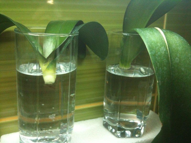 Реанимация мильтонии в воде