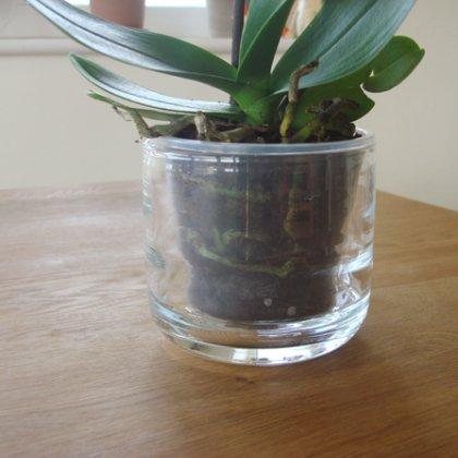 Фаленопсис в прозрачном горшке