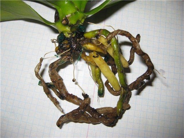 Корневая гниль орхидеи