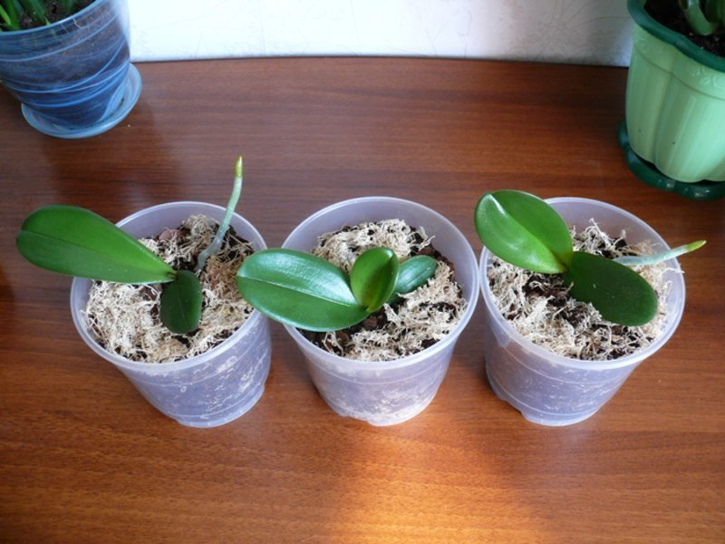 Пересаженные в горшки орхидеи