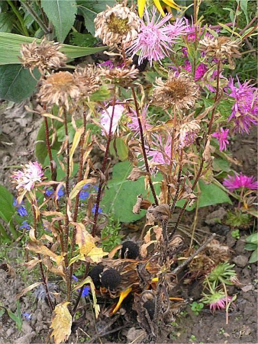 Астра цветы болезни