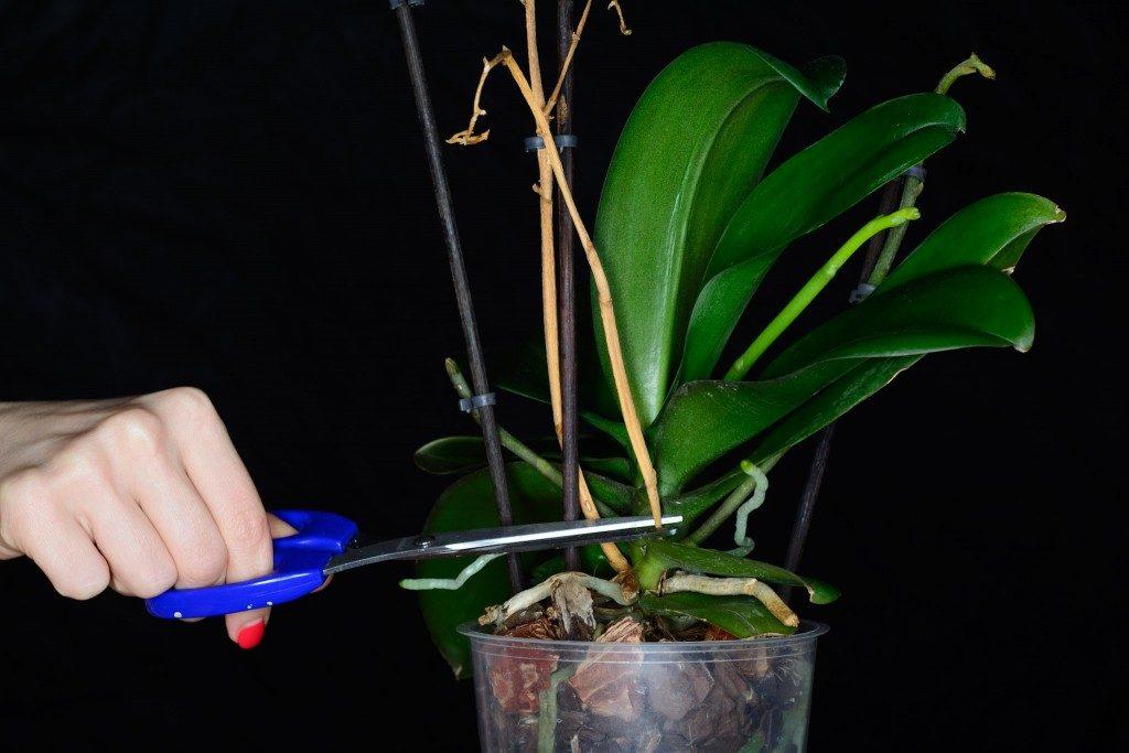 Обрезка старых цветоносов орхидеи