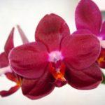 Орхидея Фаленопсис Sogo Rose