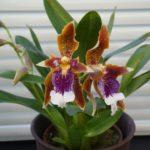 Орхидея Одонтоглоссум Harryanum