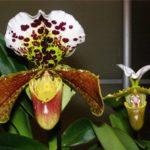 Орхидея Пафиопедилум гибридный Amerikaanse