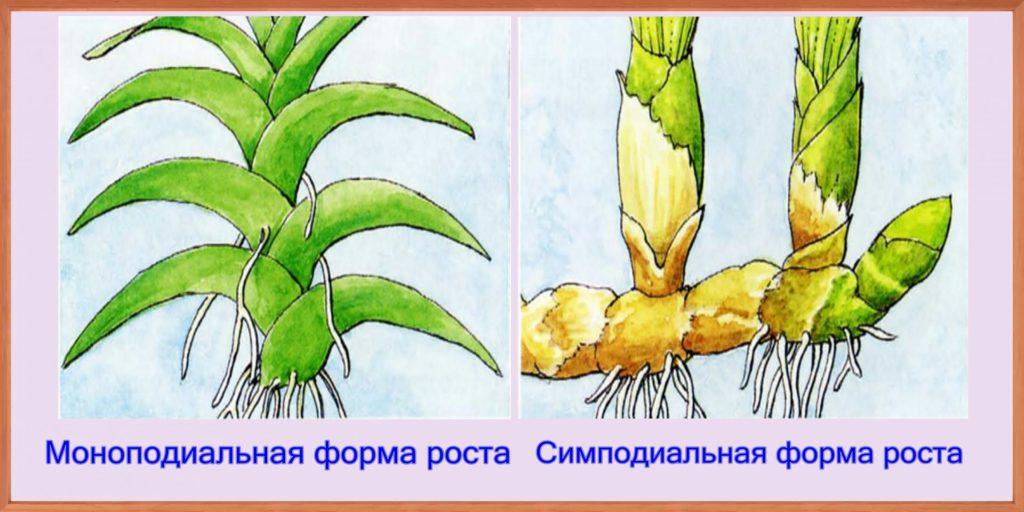 Форма роста орхидей