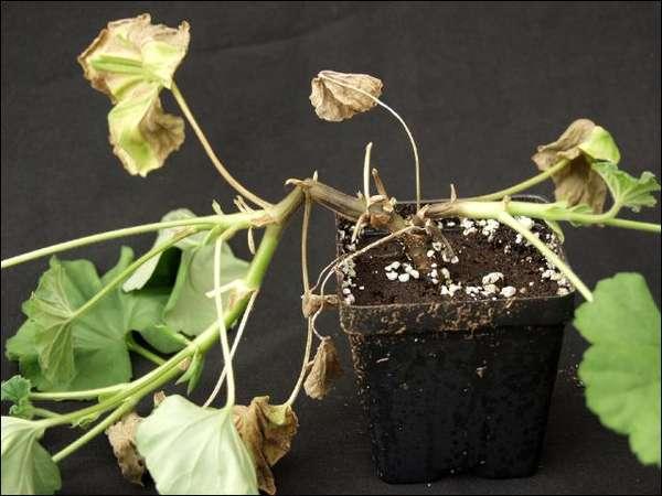 У растения гниют корни что делать
