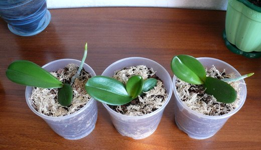 Доращивание деток орхидеи