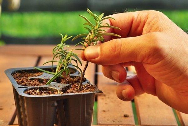 Розмарин выращивание в квартире