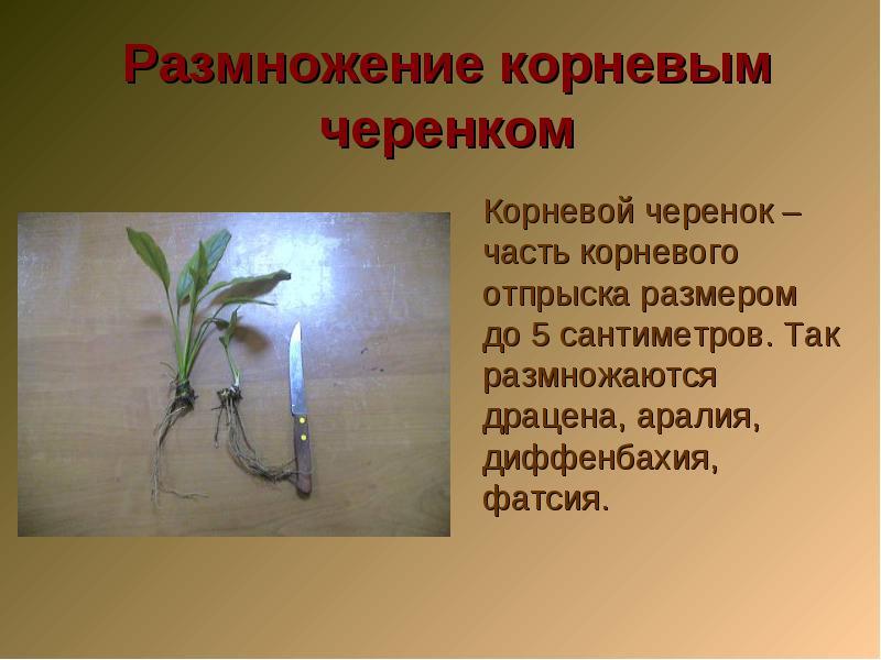 Размножение корневым отростком