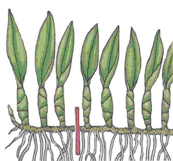 Размножение онцидиума