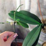 Цветонос моноподиальной орхидеи