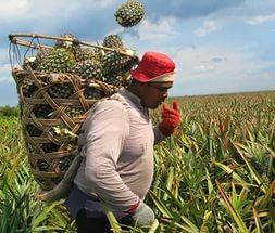 Сбор ананаса