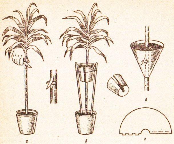 Схема размножения воздушными отводками