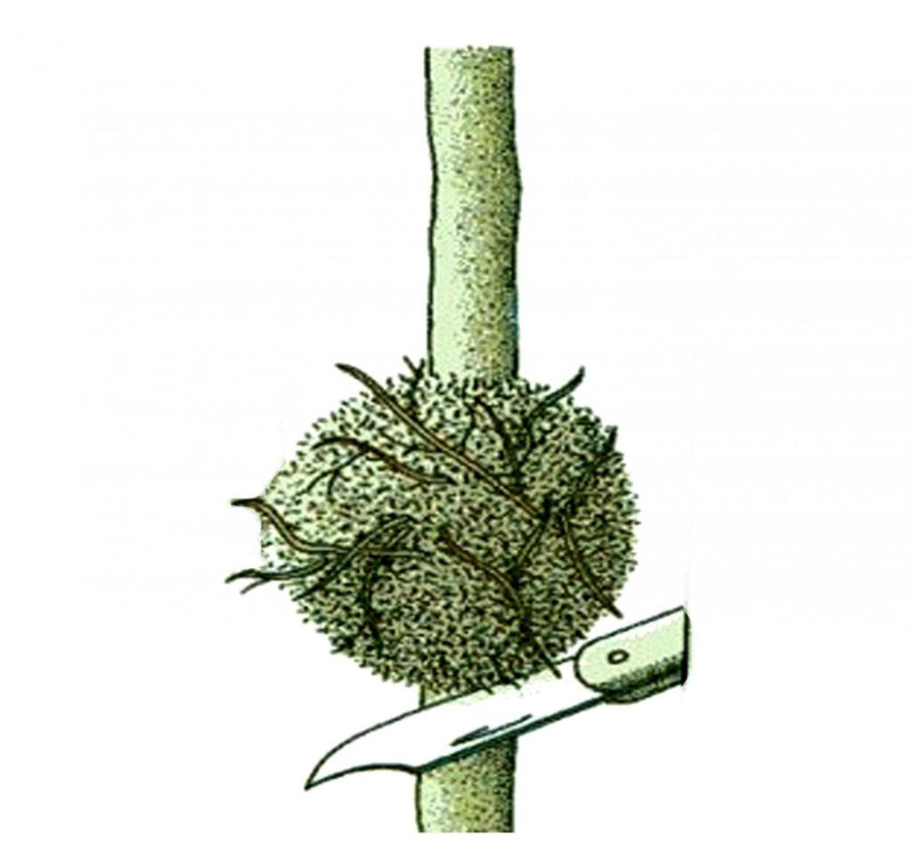 Срезка ствола при размножении воздушными отводками