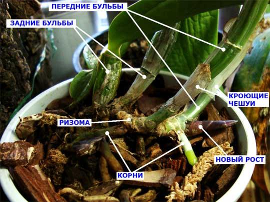 Симподиальная орхидея
