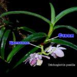 Ствол и цветонос орхидеи