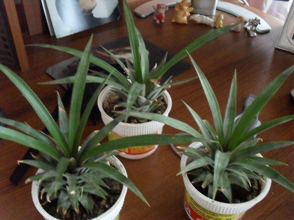 Укоренённые побеги ананаса