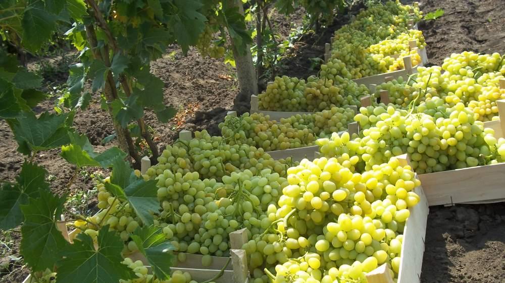 Продажа виноградников в Чипресса