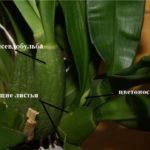 Цветонос симподиальной орхидеи