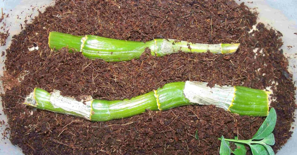 Dendrobium nobile уход в домашних условиях