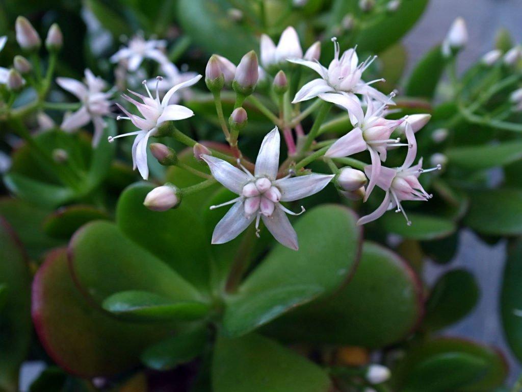 Цветки крассулы