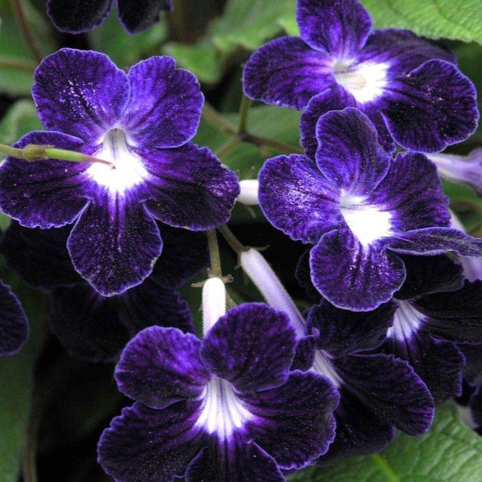 Цветки стрептокарпуса