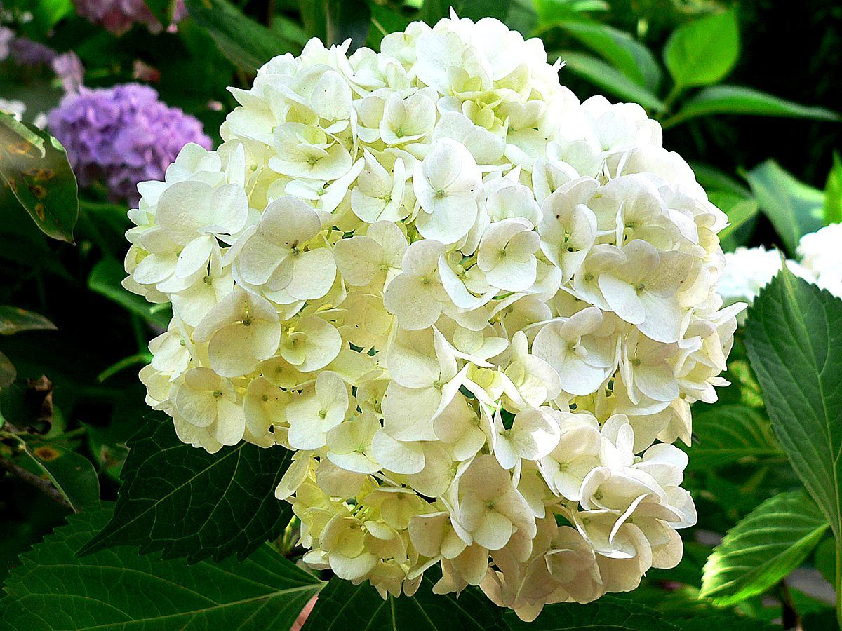 Маргаритки: личный опыт выращивания 83
