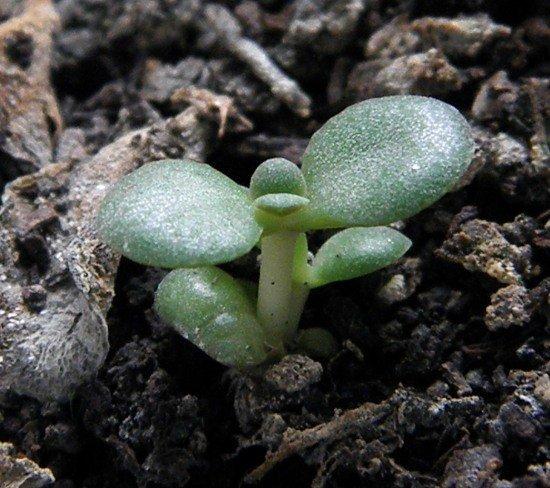 Проросший лист толстянки