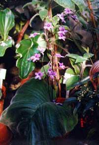 Плоды стрептокарпуса