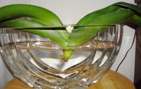 Как сделать из нескольких орхидей одну