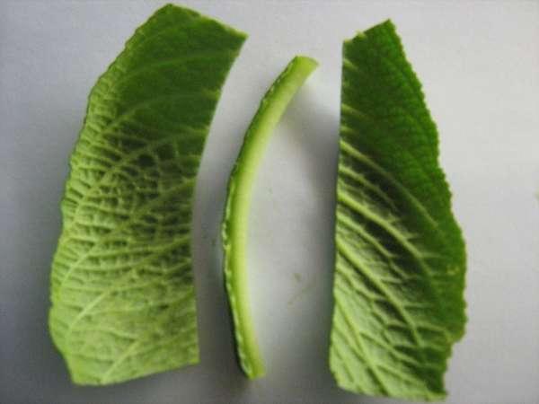 Разрезанный лист стрептокарпуса