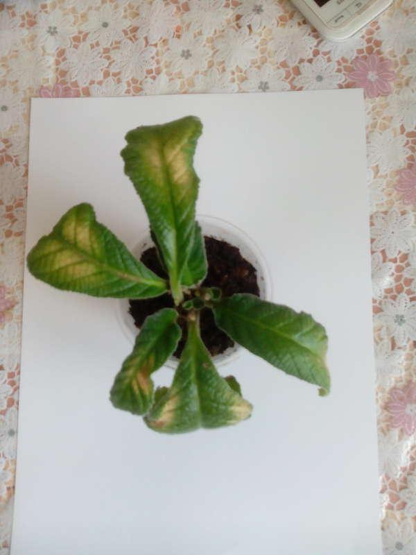 Желтеющие листья стрептокарпуса