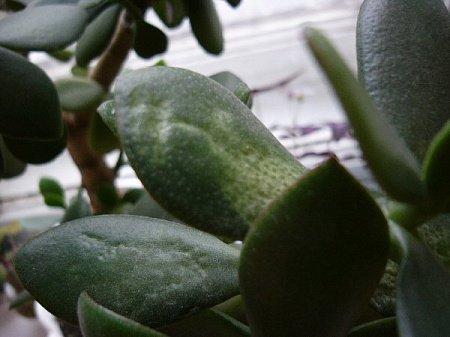 Размягчение листьев