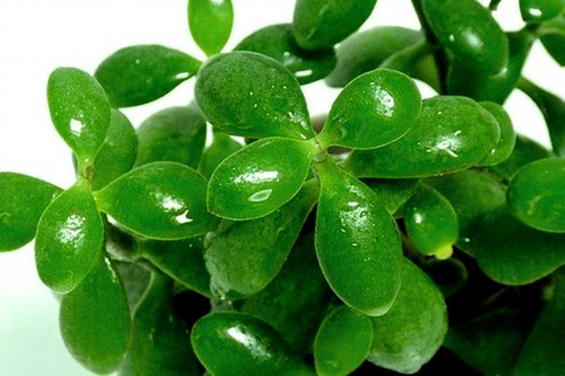 Лечение суставов денежным деревом: денежное дерево - лечебные свойства и противопоказания, рецепты