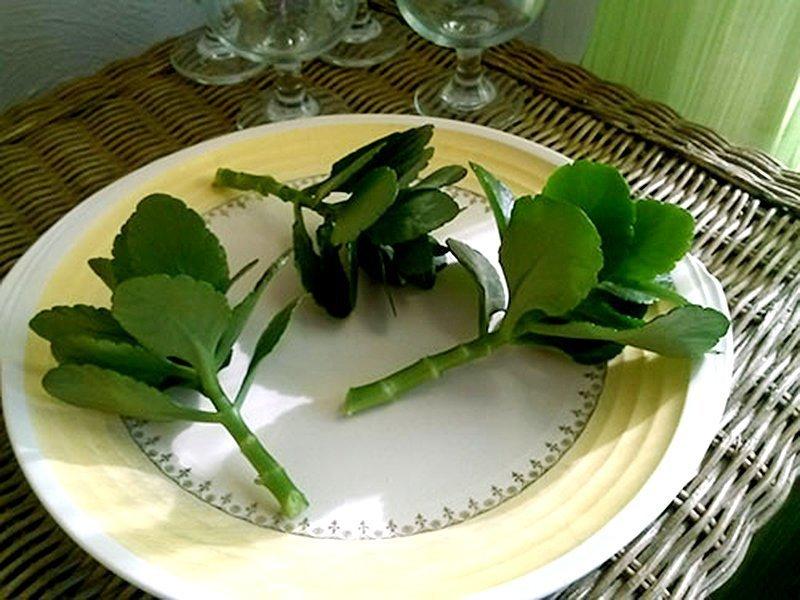 Каланхоэ размножение черенками фото
