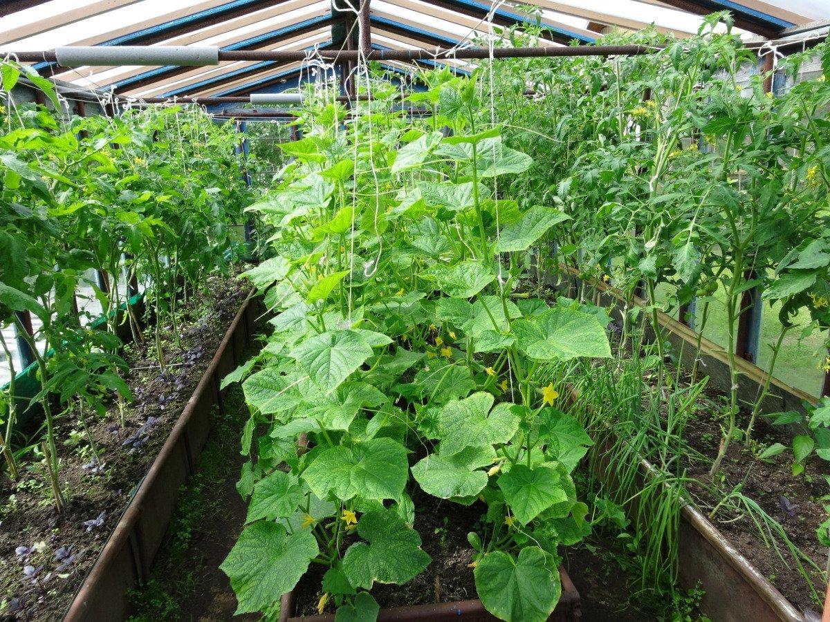 Выращивание огурцов в теплице зимой: подготовка семян и урожайность