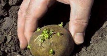 Семенной картофель во время посадки