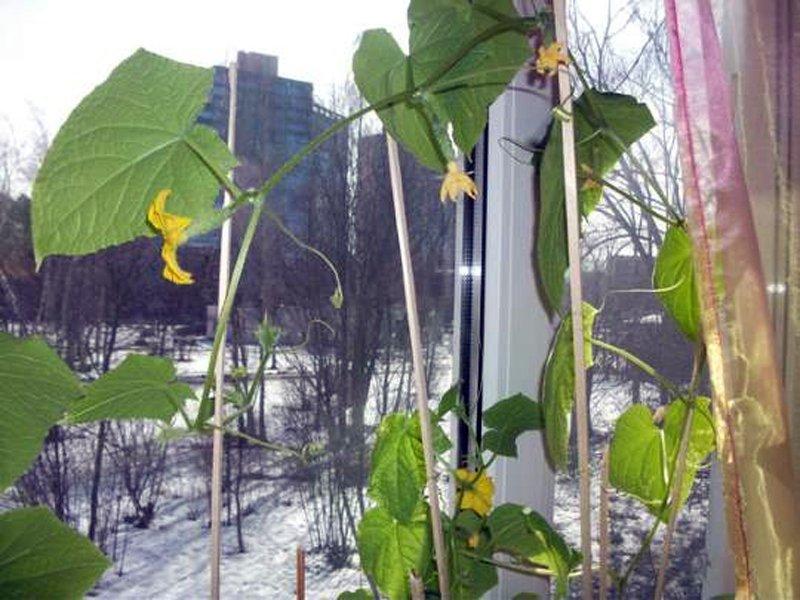 Огурцы на окне: выращивание зимой самостоятельно - лучший сп.