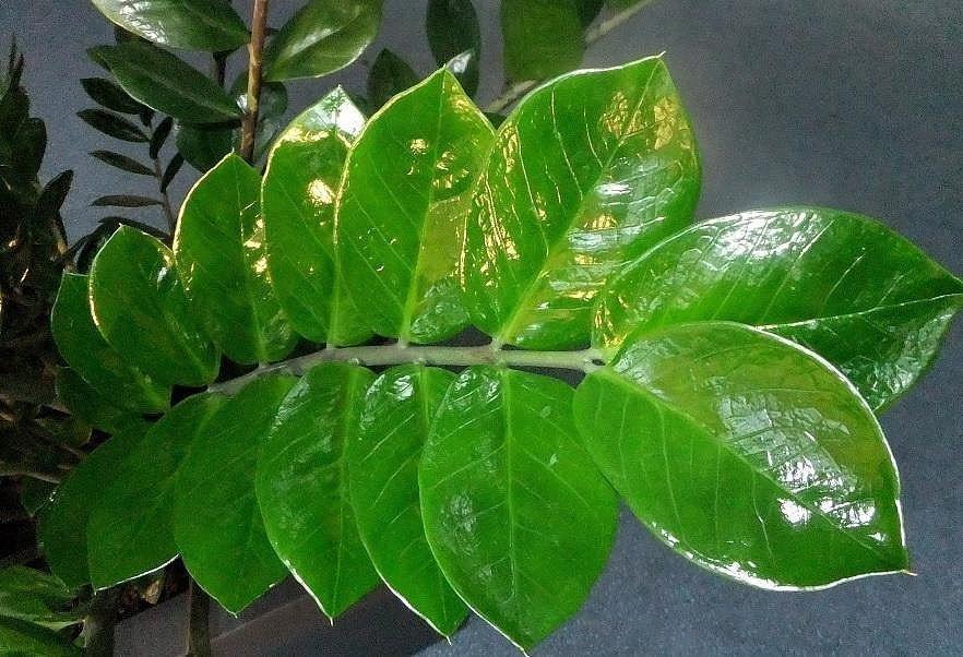 Лист замиокулькаса